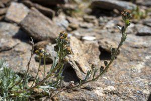 genepi - plante de haute savoie