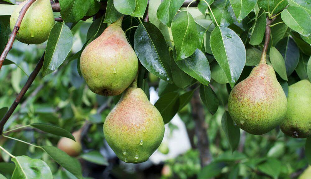 Pomme et poire Haute-Savoie