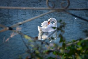 les cygnes du lac d'Annecy