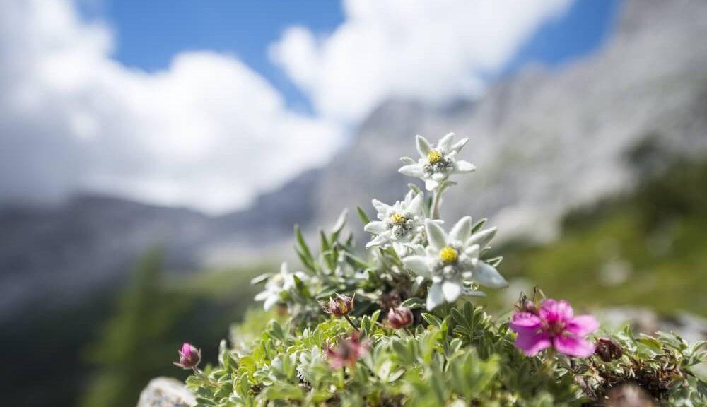 fleurs alpines à découvrir dans les alpes